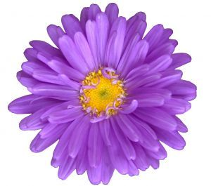 Flower Picture  on Clipart    Flowers    Purple Flower